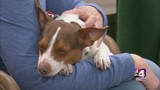 Poncho the rat terrier needs a home!