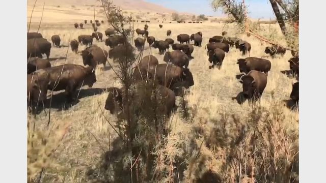 One man flown to the hospital after being trampled by bison on Antelope Island